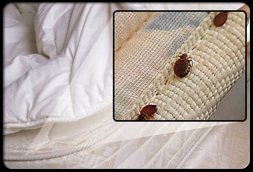 mattress hiding bed bugs